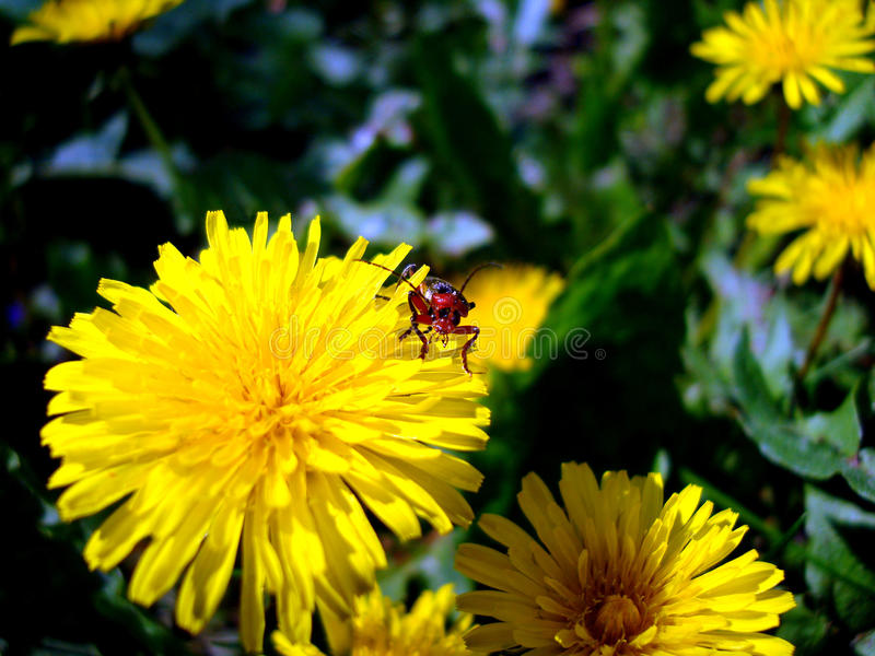Bug. Dandelion. royalty free stock images