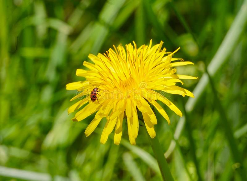 Bug on a dandelion royalty free stock image