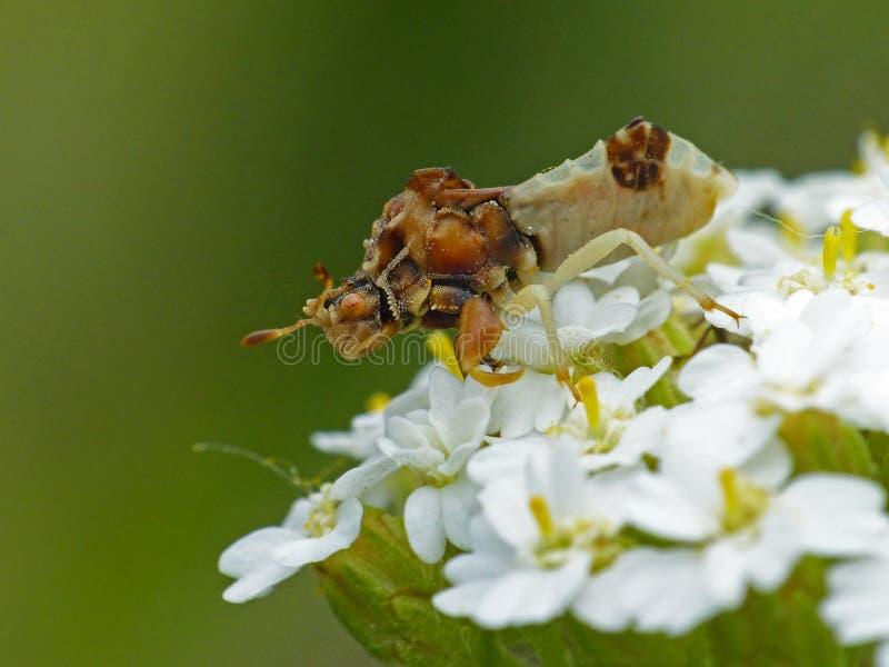 Bug Dell'Ambush Sul Cluster Del Fiore Bianco fotografia stock