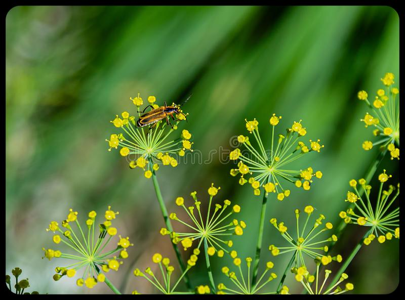 Bug on Dill weed flower on a green background. Bug on Dill weed flower Anethum graveolens on a green background. Spice and health benefits stock photography