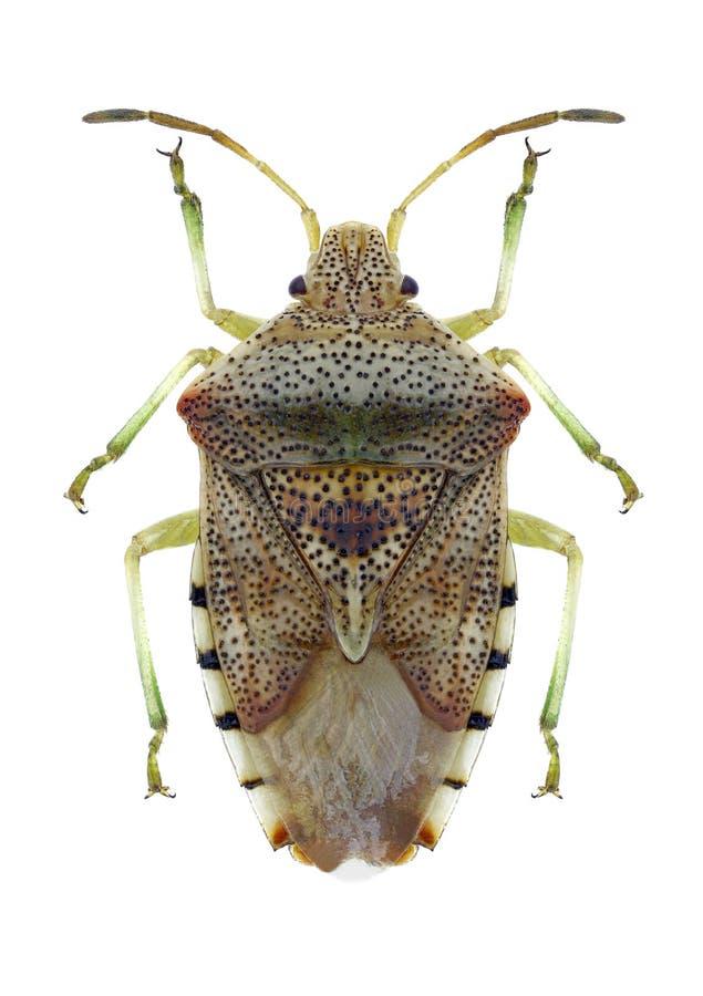 Free Bug Elasmucha Grisea Royalty Free Stock Image - 101305906