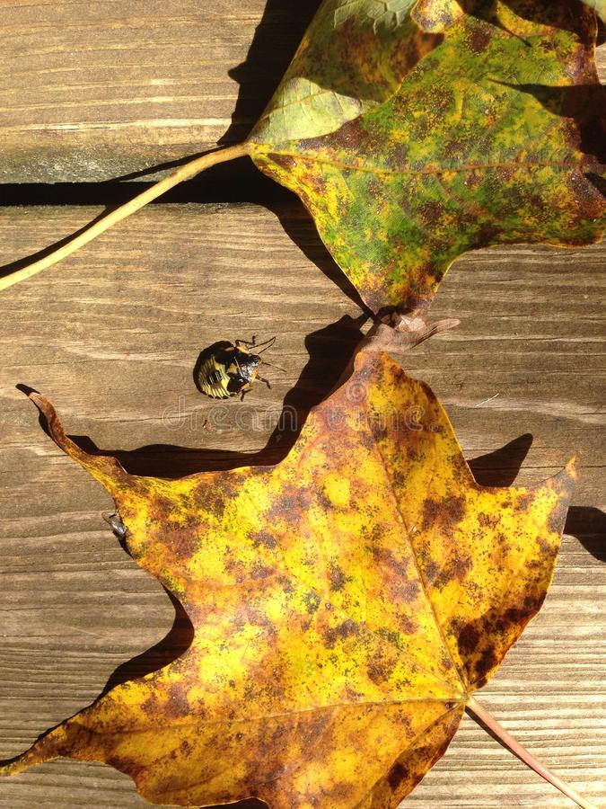 Bug with fall leaves royalty free stock images