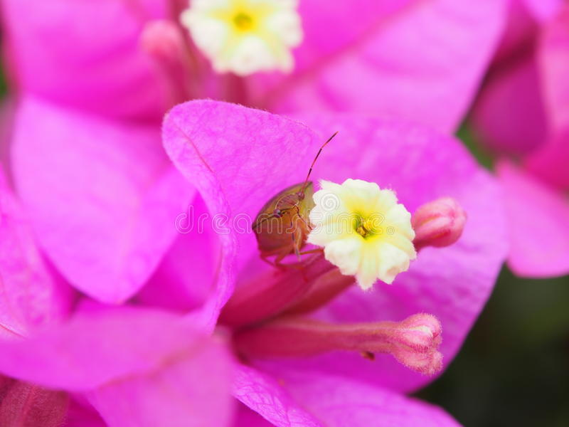 Bug In A Flower Royalty Free Stock Photo
