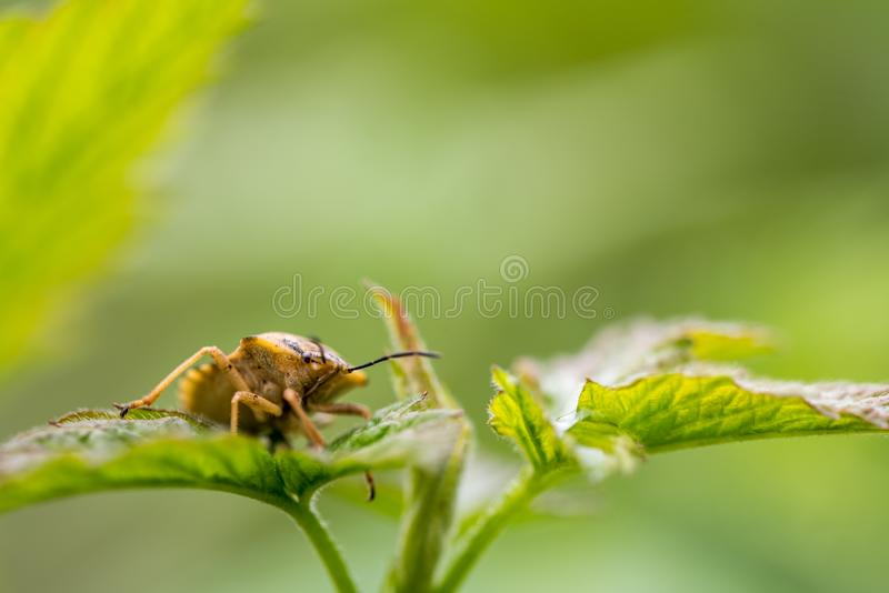 Bug on Green Leaves royalty free stock photos