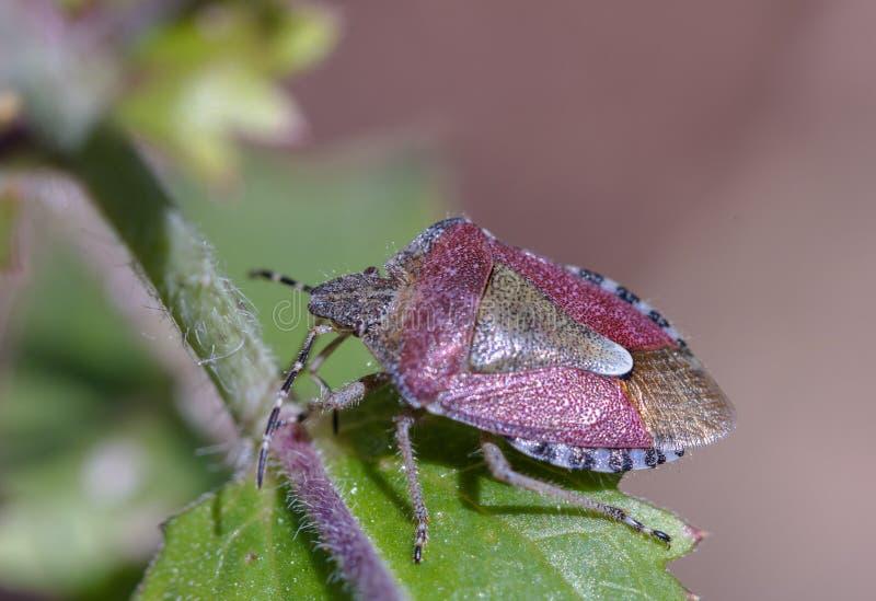 Bug Hairy Shield, Dolycoris baccarum também chamado de percevejo fotos de stock royalty free