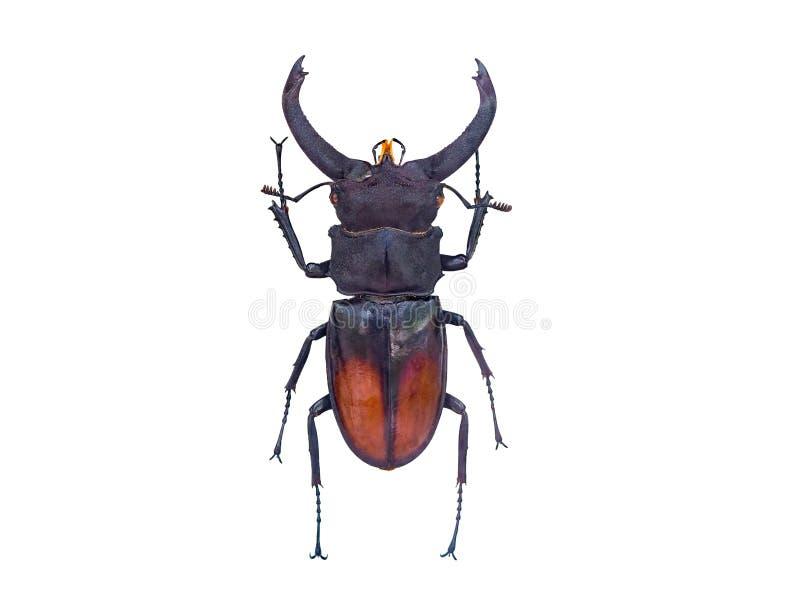 Bug isolated on white background royalty free stock photos