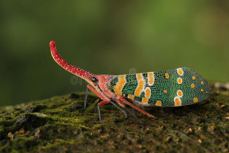 Bug Latern. A bug lantern also called lanternfly royalty free stock photography