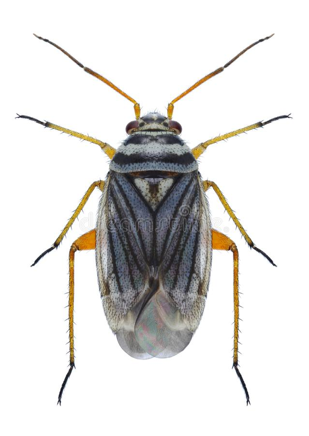 Download Bug Opisthotaenia fulvipes stock photo. Image of collection - 83721426