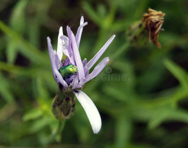 The bug sits on a flower stock image
