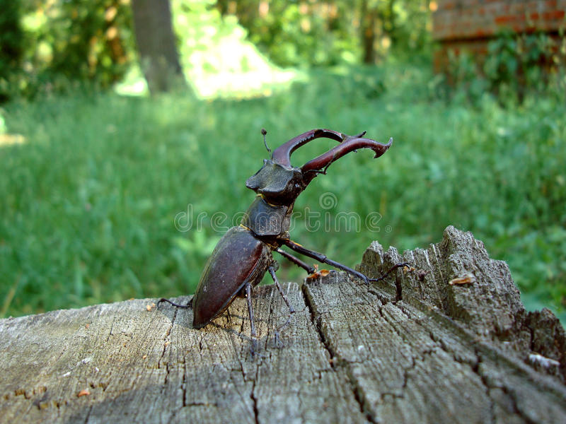Bug-stag beetle royalty free stock photos