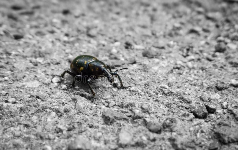 Bug walking on the road. Slovakia. Bug walking on the road ont he asphalt. Monochrome photography. Slovakia stock photo