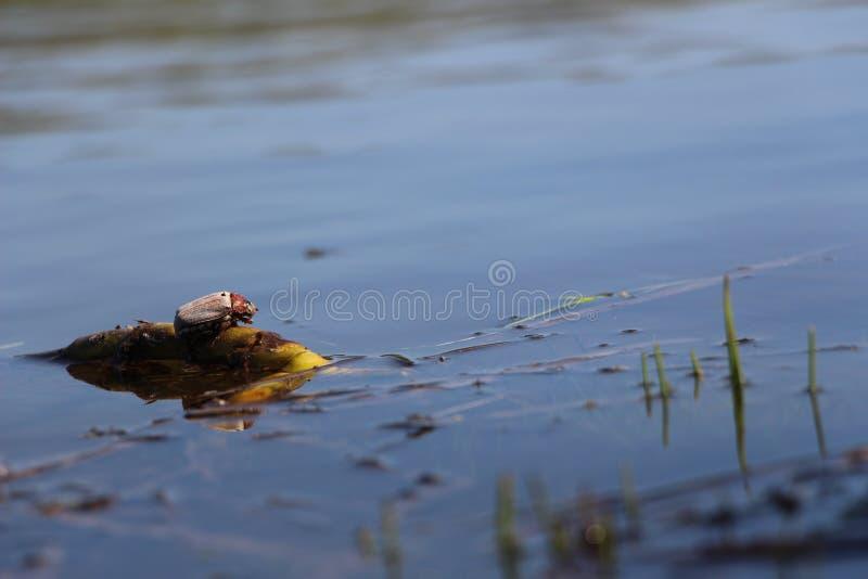 Bug on water spring lake. Spring bug on lake water stock photography