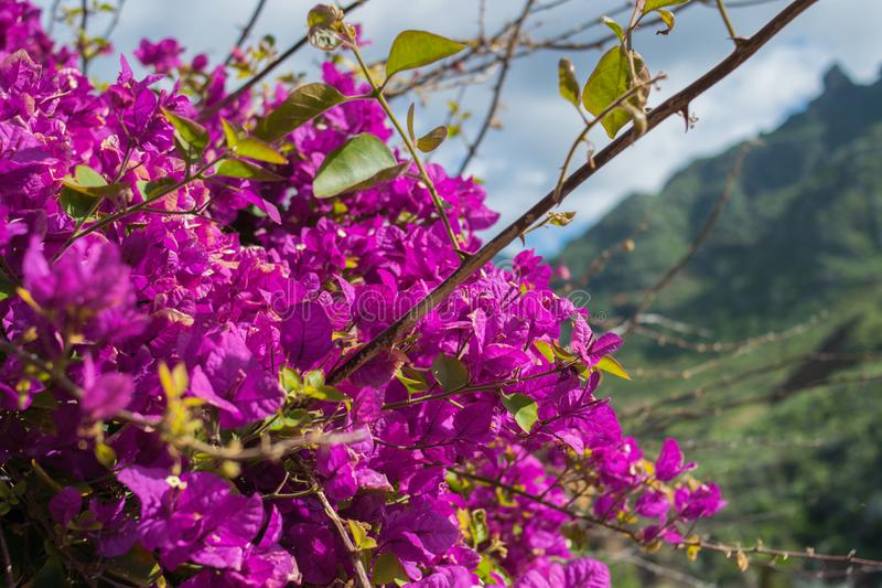 Bugambilia lilablommor fotografering för bildbyråer