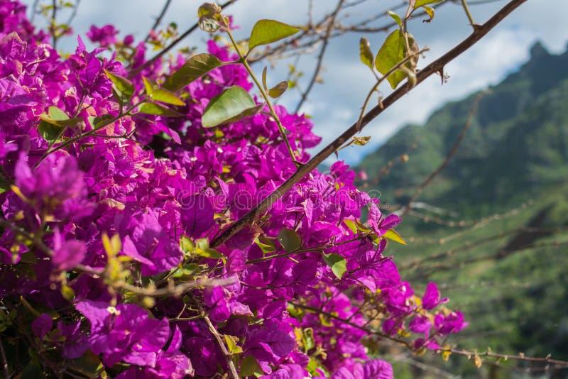 Bugambilia, Purpere bloemen stock afbeelding
