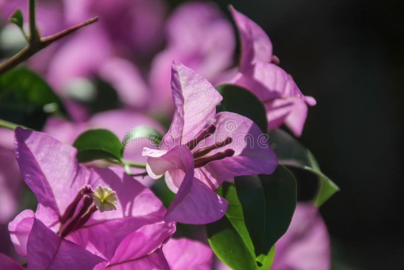 Buganvília é um tipo constante do arbusto Tamanho do arbusto pequeno a cobrir Os espinhos crescem no tronco, a separação das folh imagens de stock