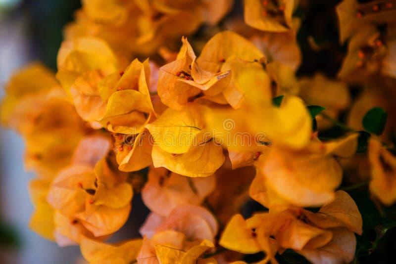 Buganvília amarela fotos de stock royalty free