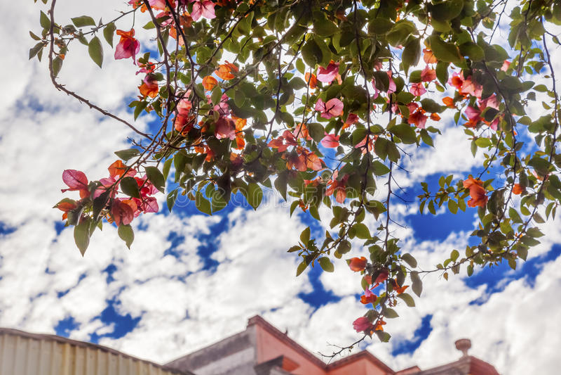 Buganvília cor-de-rosa San Miguel de Allende Mexico foto de stock