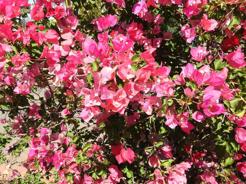 Buganvília de florescência bonita em Austrália fotos de stock