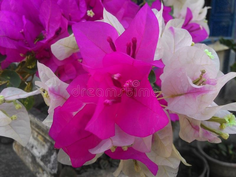 A buganvília floresce v3 fotos de stock
