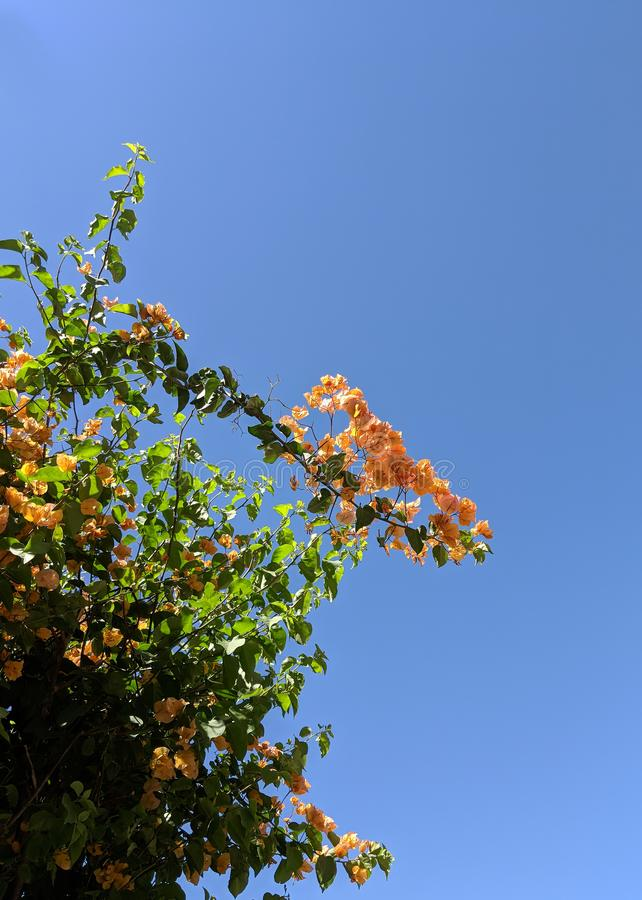 Buganvília Glabra no Arizona imagem de stock royalty free