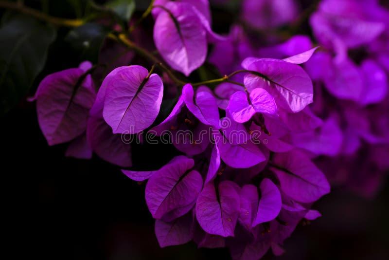 Buganvília lindo da liana, explosão cor-de-rosa imagens de stock royalty free