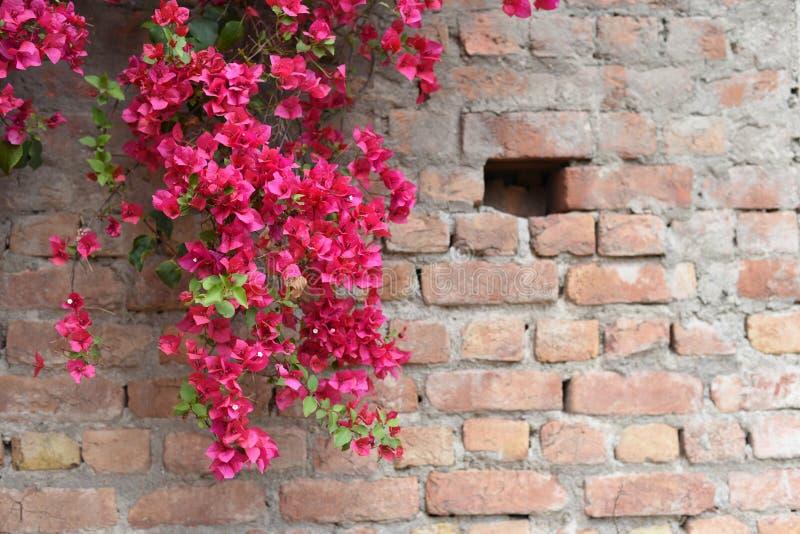 Buganvília na flor completa no concreto e na parede de tijolo imagem de stock