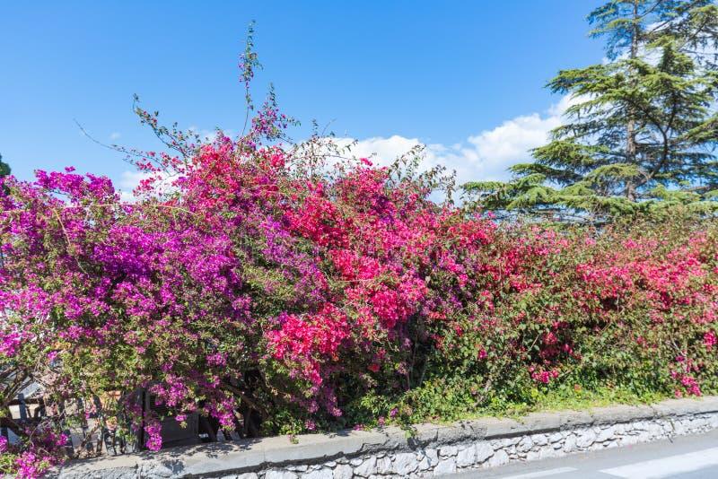 A buganvília vermelha e roxa colorida floresce na ilha Sicília, Itália imagens de stock royalty free