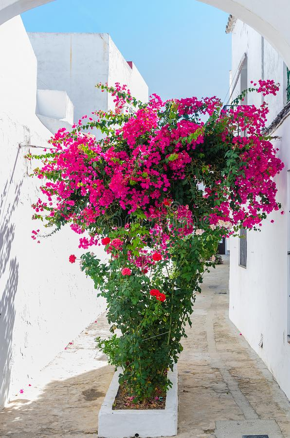 Buganvilla decoration in Vejer de la Frontera. Bougainvillea or buganvilla in a narrow street of Vejer de la Frontera, Cadiz, Andalucia, Spain stock photo