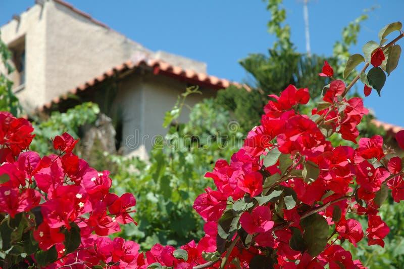 Buganvilla en yarda en Kiato, Grecia imagen de archivo libre de regalías