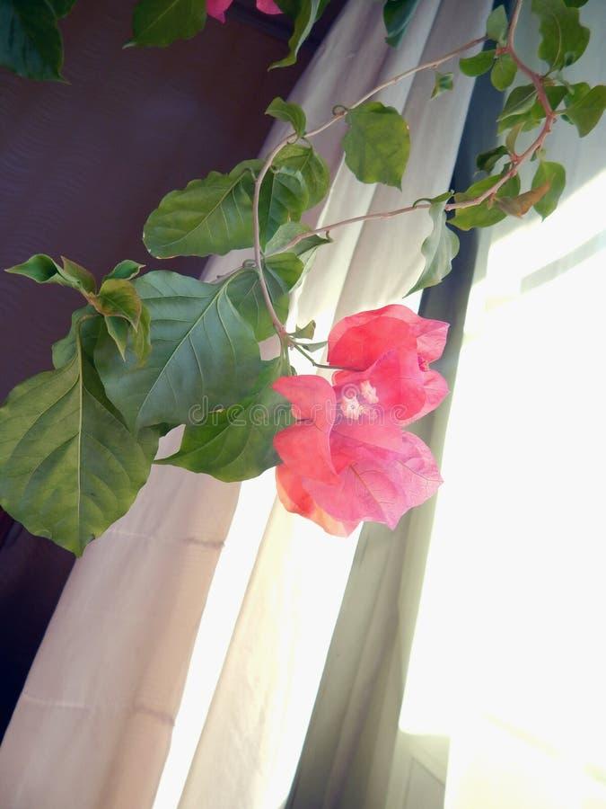 Buganvilla floreciente en la ventana en el interior fotos de archivo
