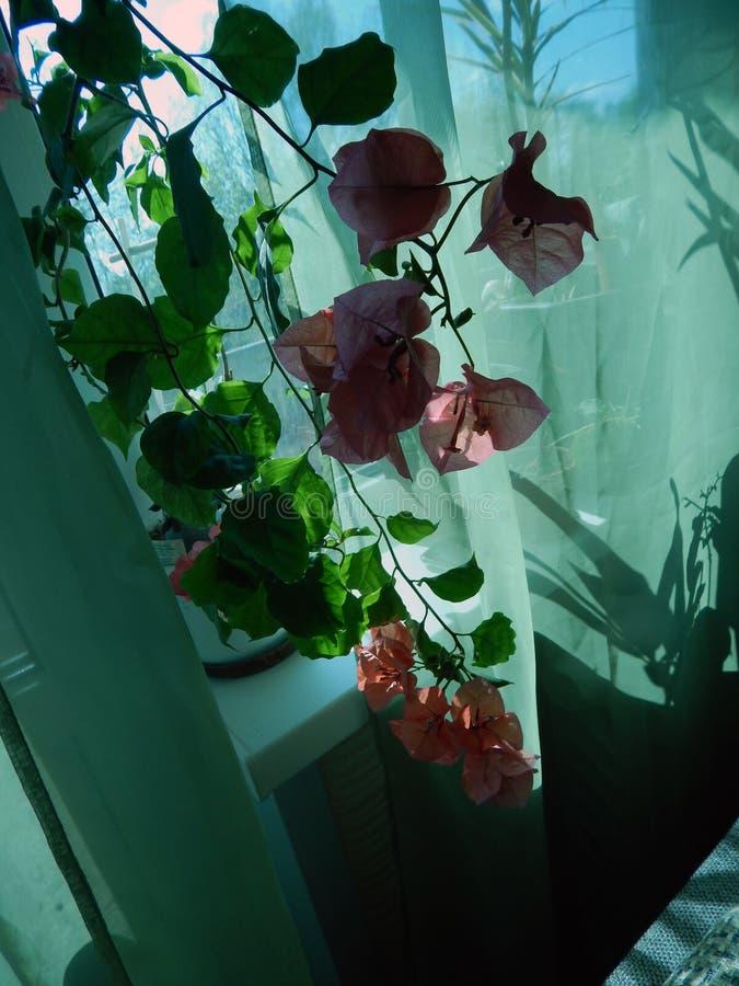 Buganvilla floreciente en la ventana en el interior foto de archivo