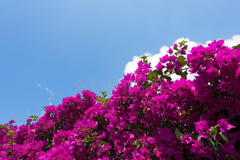 Buganvilla hermosa en un cielo azul fotos de archivo