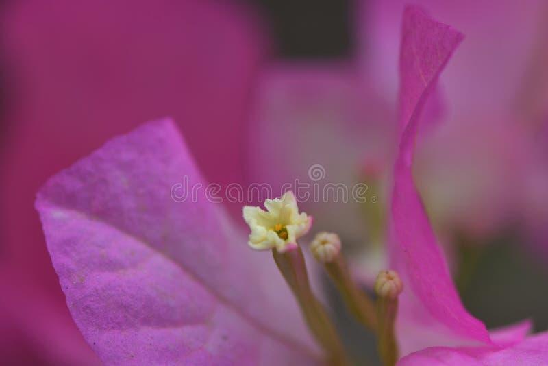 Buganvilla rosada imágenes de archivo libres de regalías