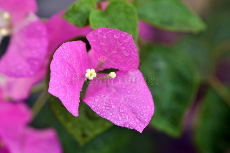 Buganvilla rosada fotos de archivo