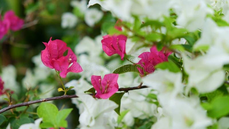 Buganvilla rosada en el parque fotos de archivo