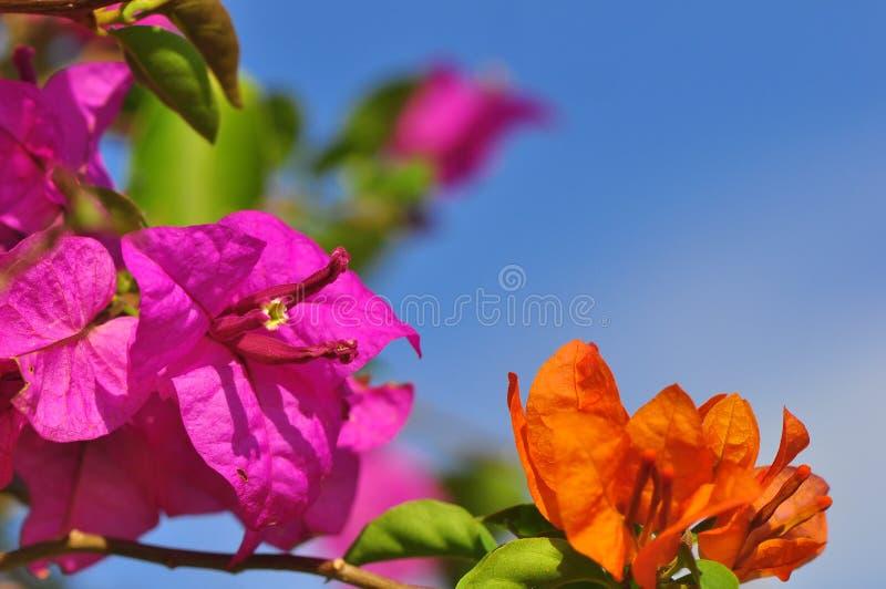 Buganvilla rosada y anaranjada brillante contra un cielo azul con el fondo del bokeh fotos de archivo libres de regalías