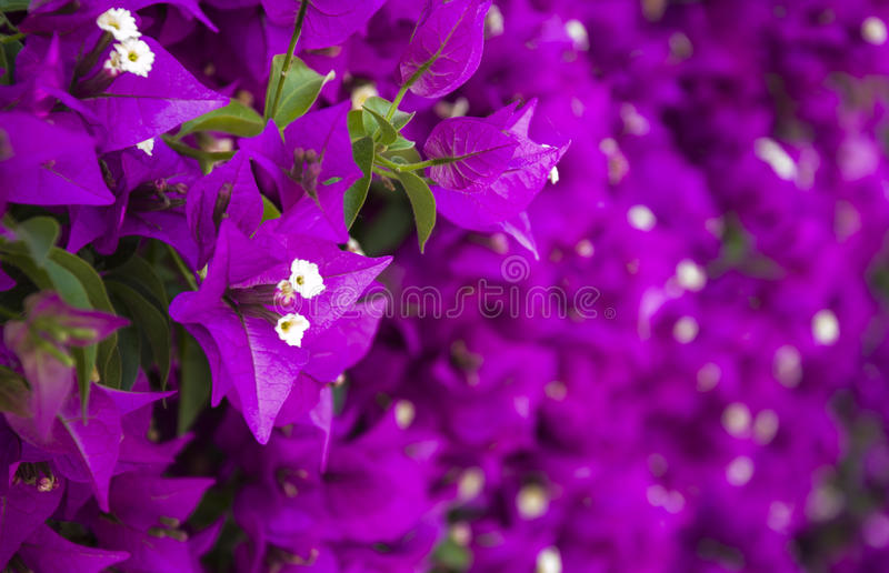 Buganvillea imagens de stock royalty free