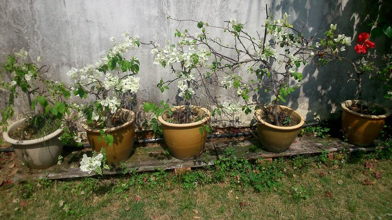 Buganvillea bianca appassente fotografia stock libera da diritti