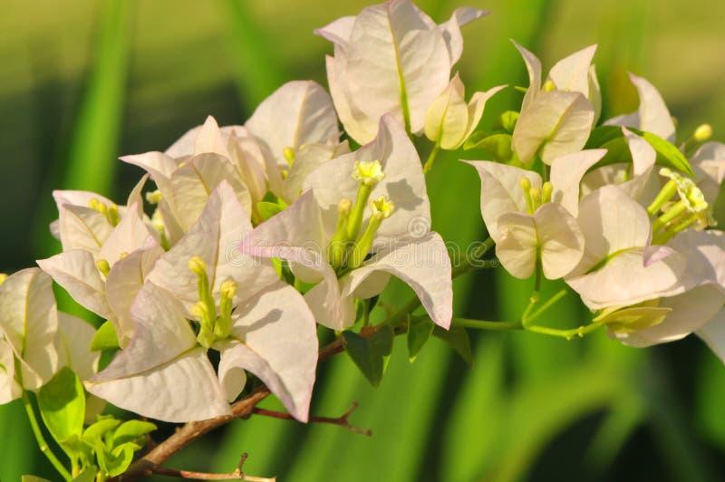 Buganvillea bianca luminosa con il fondo di Bokeh immagine stock