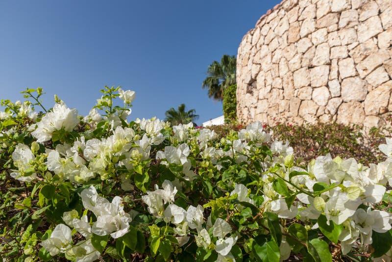 Buganvillea bianca, Sharm el Sheikh, Egitto fotografia stock libera da diritti