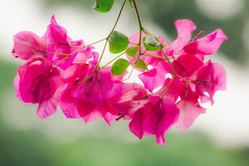 Buganvillea classificata come fiore ornamentale popolare secondo la casa immagini stock libere da diritti
