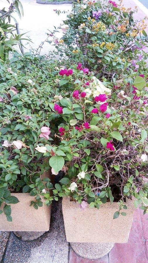 Buganvillea di fioritura immagini stock