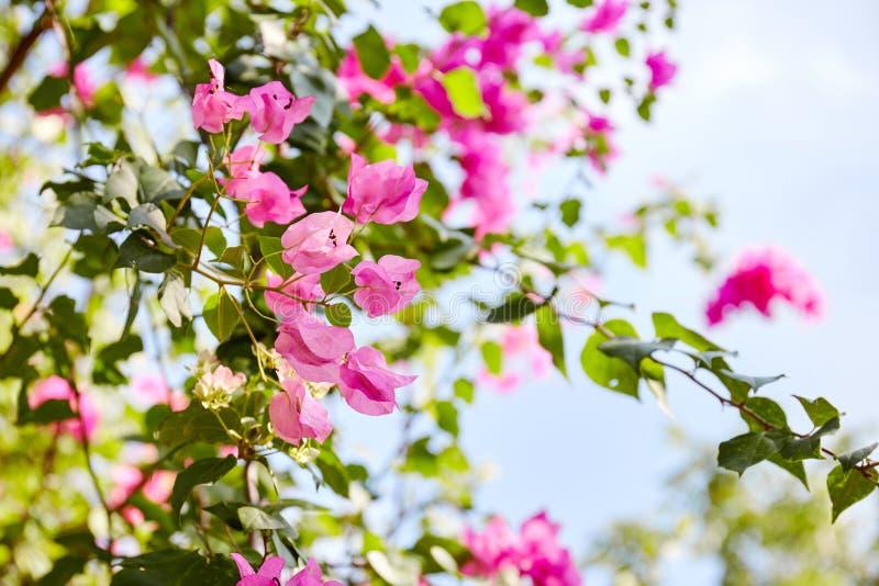 Buganvillea di fioritura del fiore nel giardino fotografia stock