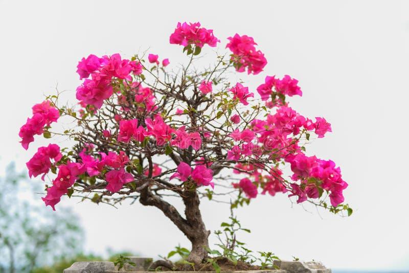 Buganvillea di fioritura rosa contro il cielo blu immagine stock