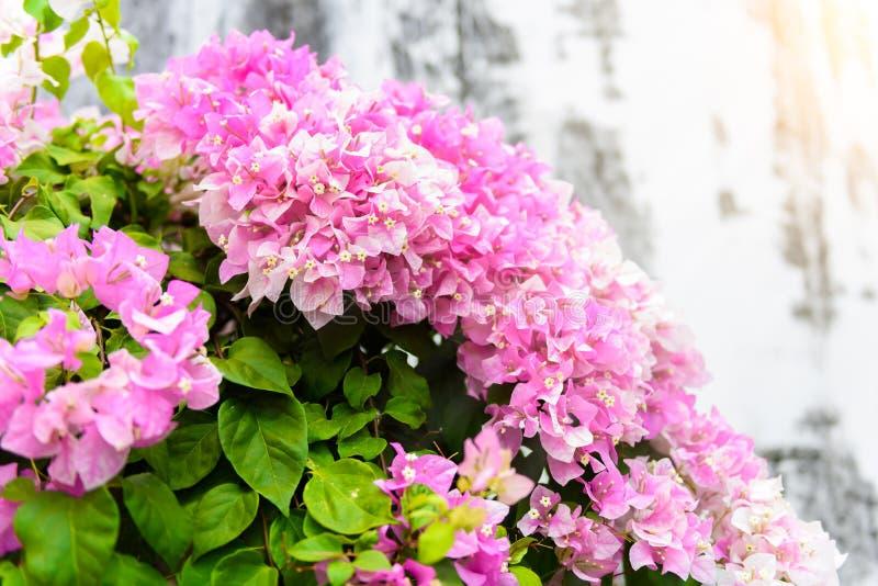 Buganvillea porpora in giardino fotografia stock libera da diritti