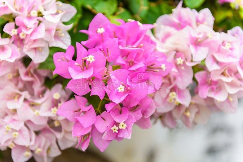 Buganvillea porpora in giardino immagini stock