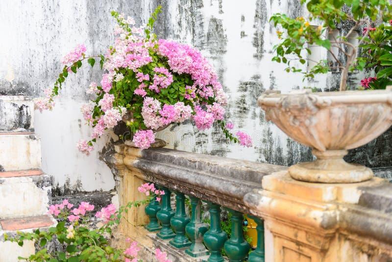 Buganvillea porpora in vaso di fiore d'annata del cemento immagini stock libere da diritti