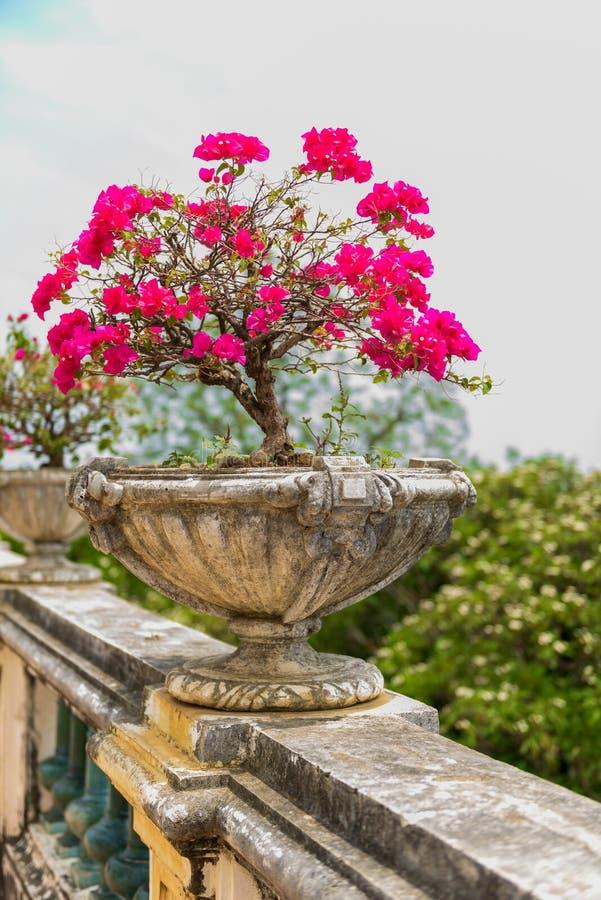 Buganvillea porpora in vaso di fiore d'annata del cemento fotografia stock libera da diritti