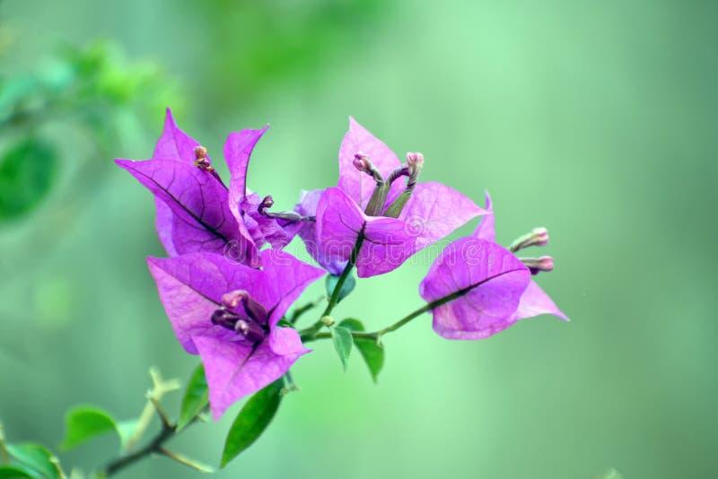 Buganvillea rosa fotografie stock