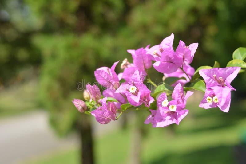 Buganvillea rosa nel parco fotografia stock libera da diritti